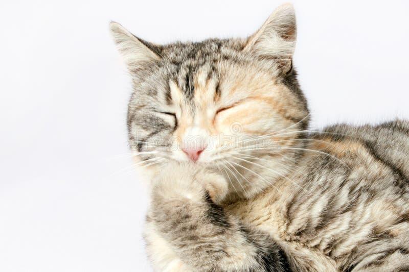 Gato manchado que senta-se com inclinação fechado dos olhos no pé fotos de stock royalty free