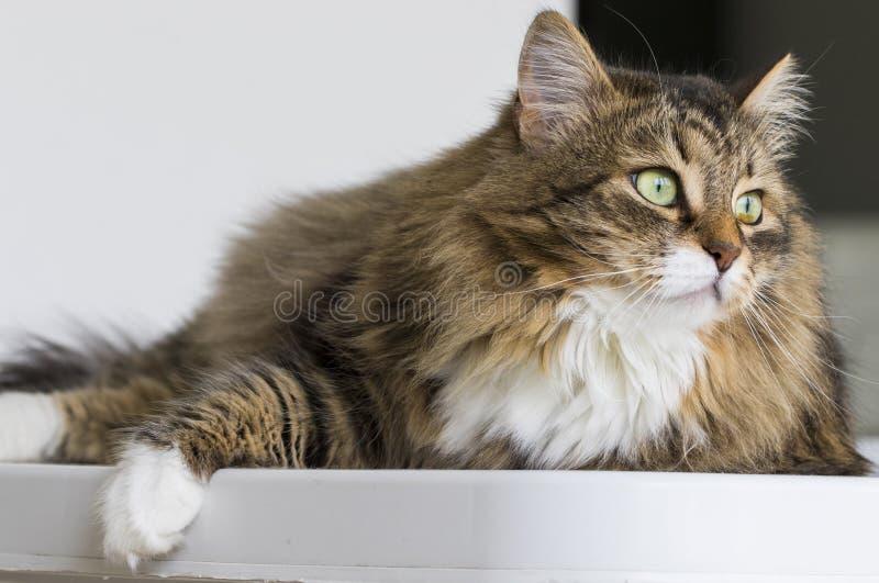 Gato maravilloso en la casa que mira hacia fuera, gato de gato atigrado marrón fotos de archivo