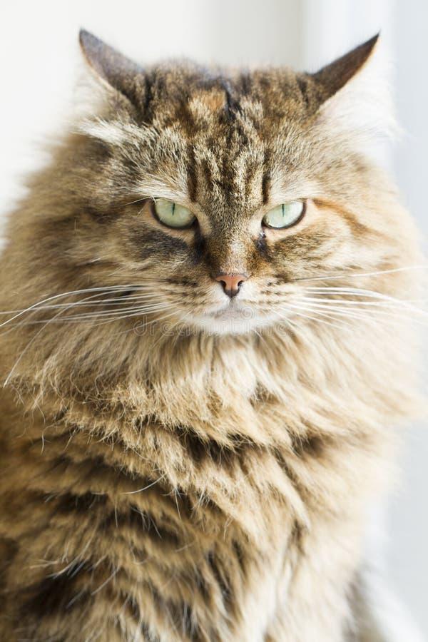 Gato marrón peludo de la caballa fotografía de archivo libre de regalías