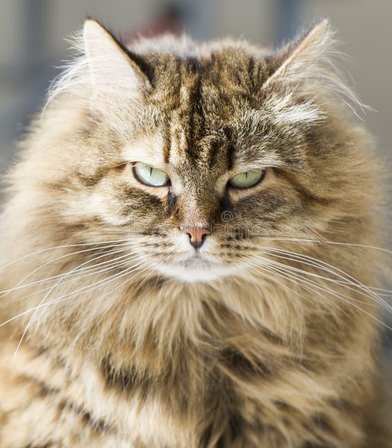 Gato marrón peludo de la caballa, primero plano fotos de archivo