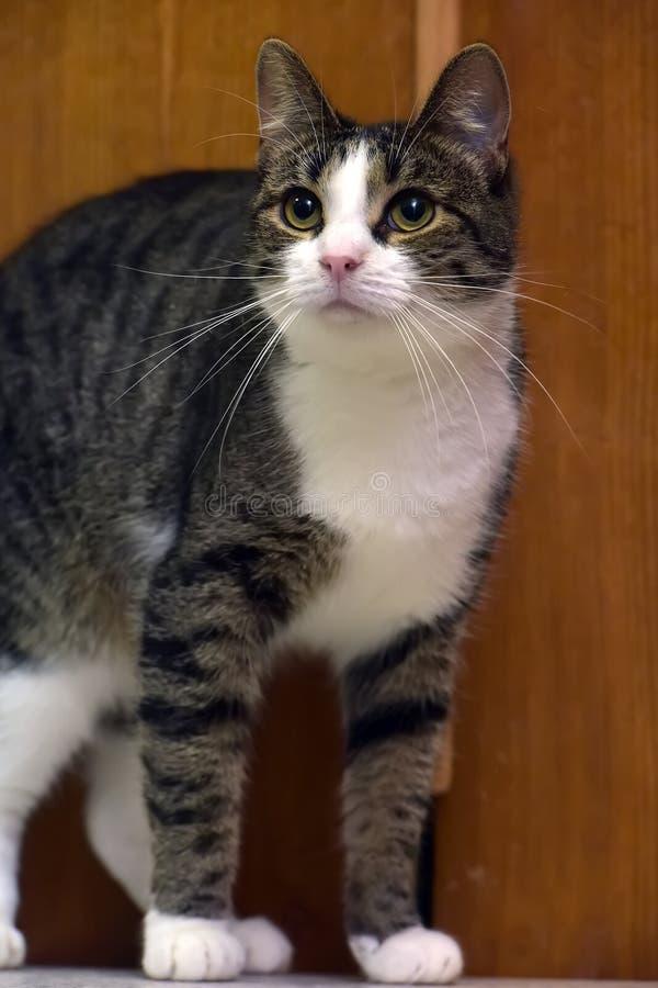 Gato marrón y blanco imagen de archivo libre de regalías