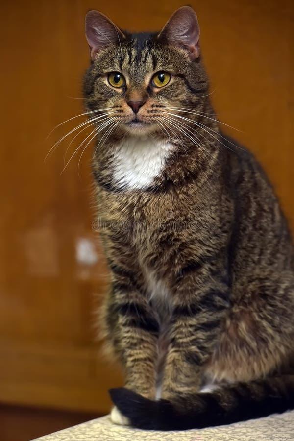 Gato marrón y blanco imagenes de archivo