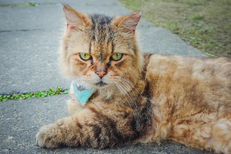 Gato marrom bonito doméstico relaxado no parque exterior fotografia de stock