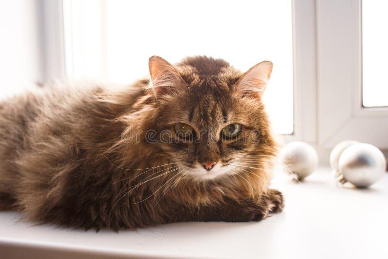 Gato marrom desgrenhado imagens de stock