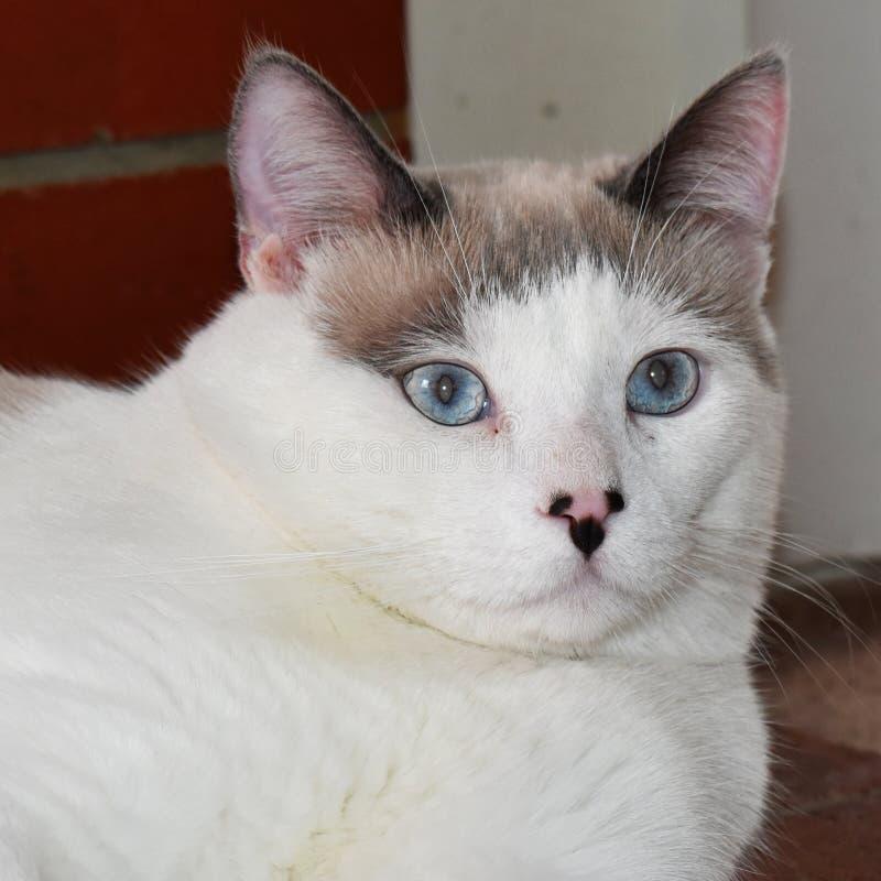 Gato marrom e branco bonito com olhos azuis lindos fotografia de stock royalty free