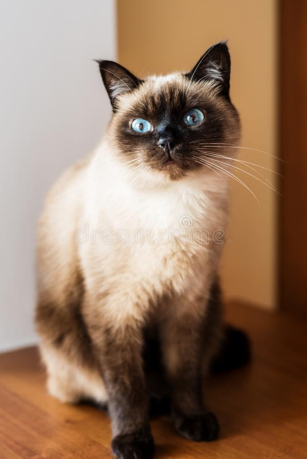 Gato masculino curioso e alerta imagem de stock