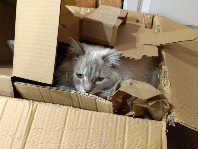 Gato masculino de Ragdoll en caja imágenes de archivo libres de regalías