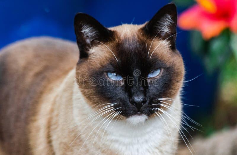Gato masculino siamese doméstico Tricolor imagem de stock