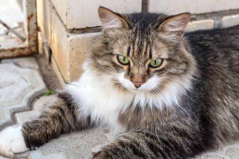 Gato masculino tricolour macio na rua De cima do gato lindo heterogêneo que encontra-se na rua perto da parede que olha afastado imagem de stock