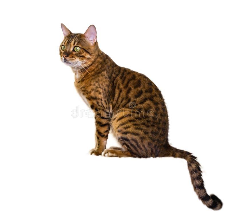 Gato mezclado de Bengala fotografía de archivo