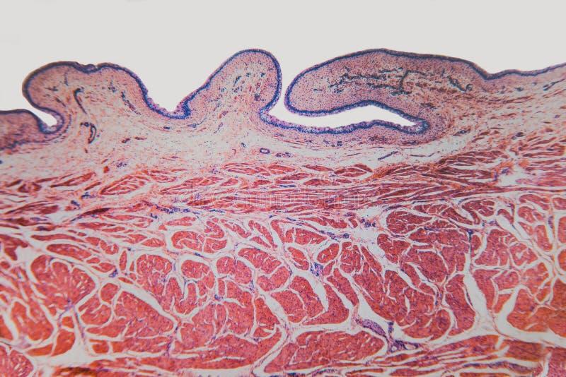 Gato microscópico de la vejiga urinaria de la célula fotos de archivo libres de regalías