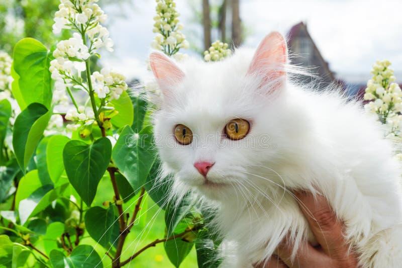 Gato mullido blanco en las manos de su dueño imagen de archivo