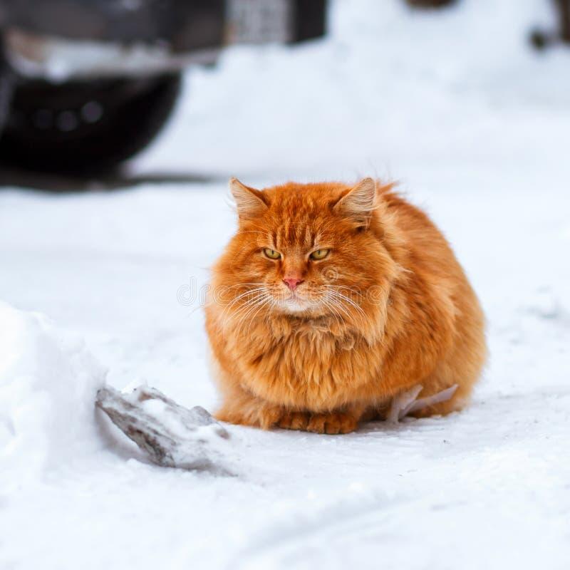 Gato mullido grande del jengibre que se sienta en el 1:1 de la nieve foto de archivo
