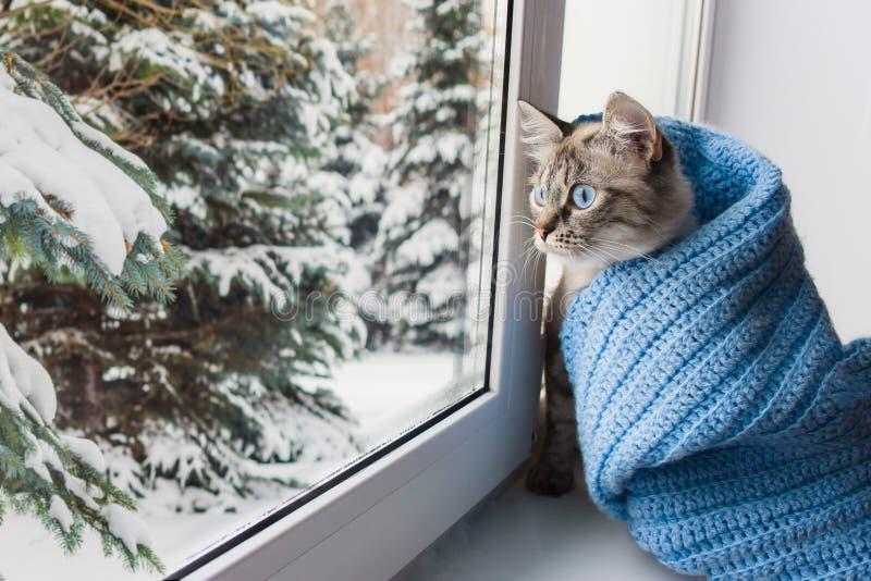 Gato mullido lindo con el sititng de los ojos azules en un travesaño de la ventana imagen de archivo libre de regalías