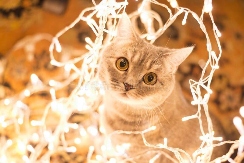 Gato na festão do Natal fotos de stock royalty free