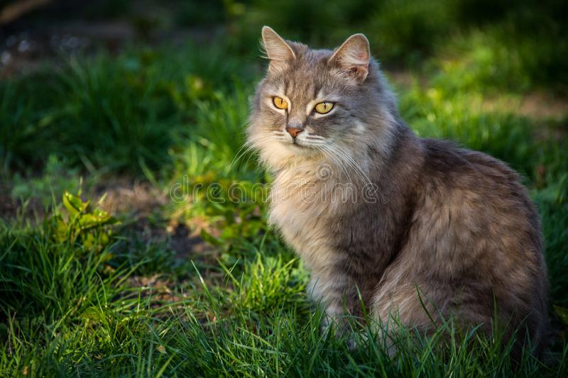 Gato na grama verde Gato macio cinzento primavera foto de stock royalty free