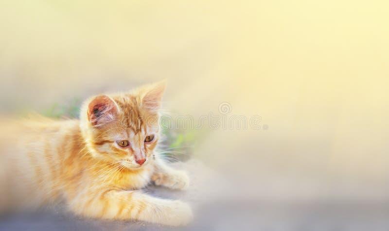 Gato na grama verde no verão O gato vermelho bonito com os olhos amarelos no verão Sun irradia exterior Espaço para o texto foto de stock