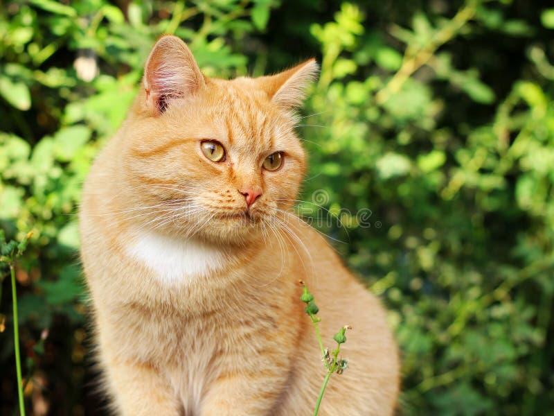 Gato na grama verde no verão Gato vermelho bonito com olhos amarelos fotografia de stock royalty free