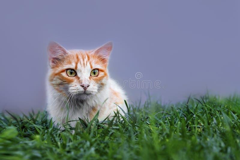 Gato na grama verde no verão Gato vermelho bonito com olhos verdes fotografia de stock royalty free
