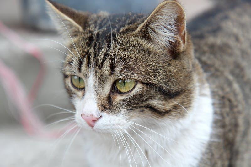 Gato na parte dianteira em um fundo cinzento fotografia de stock