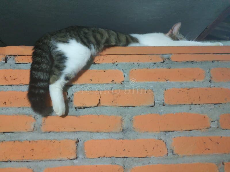 Gato nacional blanco y gris que miente para relajarse en la pared fotografía de archivo