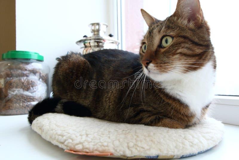 Gato nacional del gato atigrado de la caballa en alféizar imagen de archivo