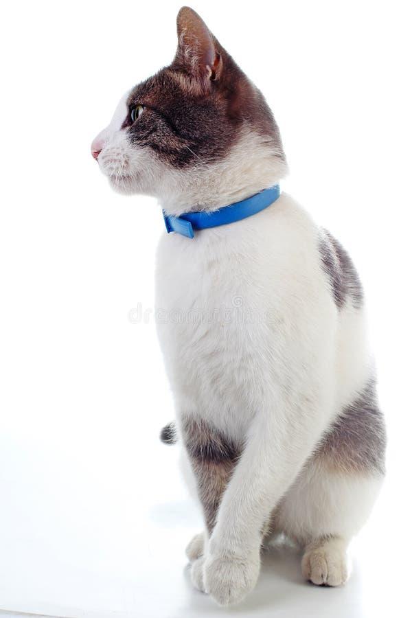Gato nacional en fondo blanco aislado Gato que quiere la comida Gato entrenado Animal doméstico animal del mamífero Gato hermoso  fotos de archivo