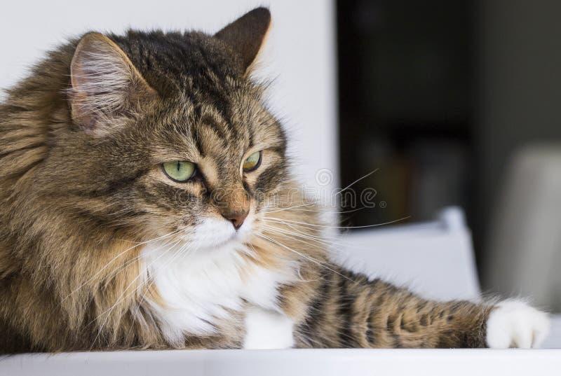 Gato nacional en la casa que mira hacia fuera, gato de gato atigrado marrón fotos de archivo libres de regalías