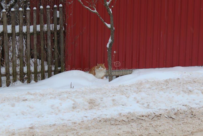 Gato nacional en la nieve Es difícil moverse Paseos al gato imagen de archivo libre de regalías