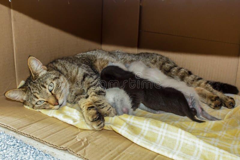 Gato nacional hermoso con los gatitos recién nacidos recién nacidos de los gatitos que duermen en la caja de la casa del cartón fotos de archivo