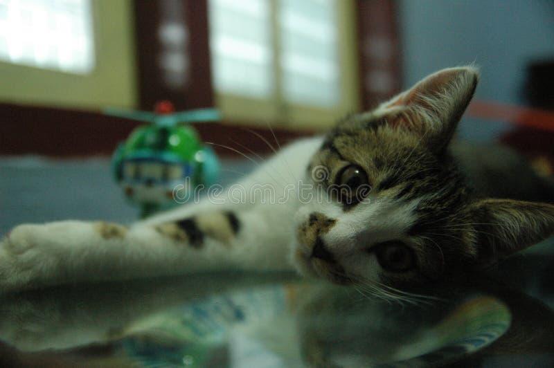 Gato nacional hermoso tan lindo - animal adorable foto de archivo
