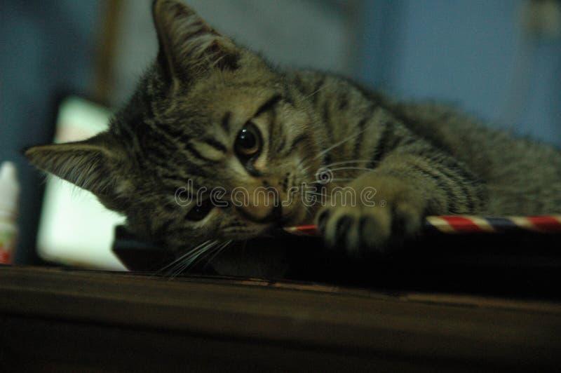 Gato nacional hermoso tan lindo - animal adorable fotografía de archivo