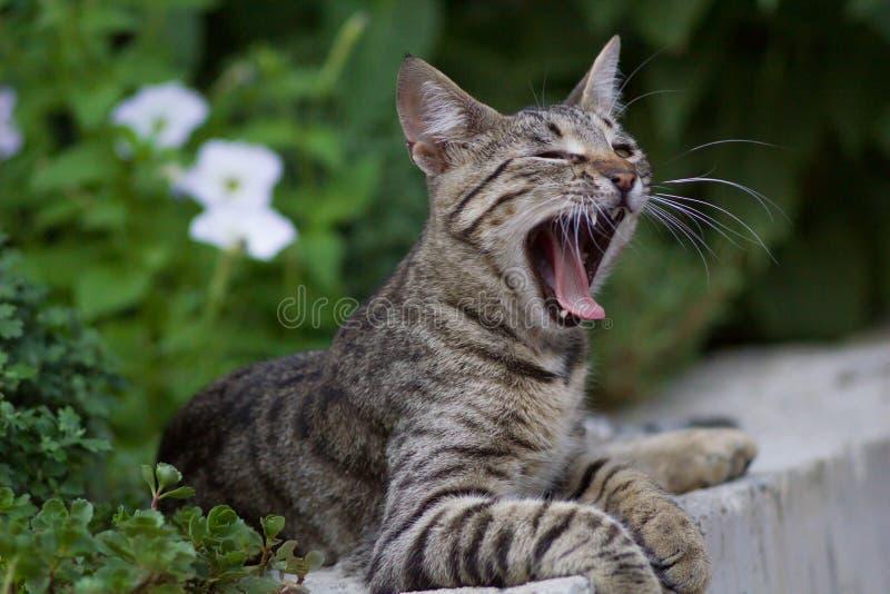 Gato nacional lindo que bosteza imagen de archivo