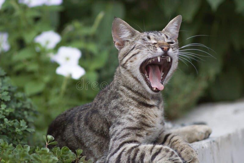 Gato nacional lindo que bosteza fotografía de archivo libre de regalías