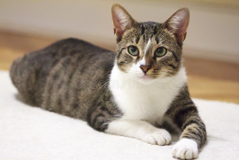Gato nacional lindo que se relaja en casa imágenes de archivo libres de regalías