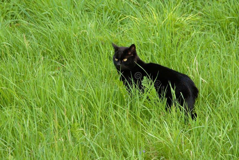 Gato nacional negro que se coloca en alta hierba salvaje fotografía de archivo