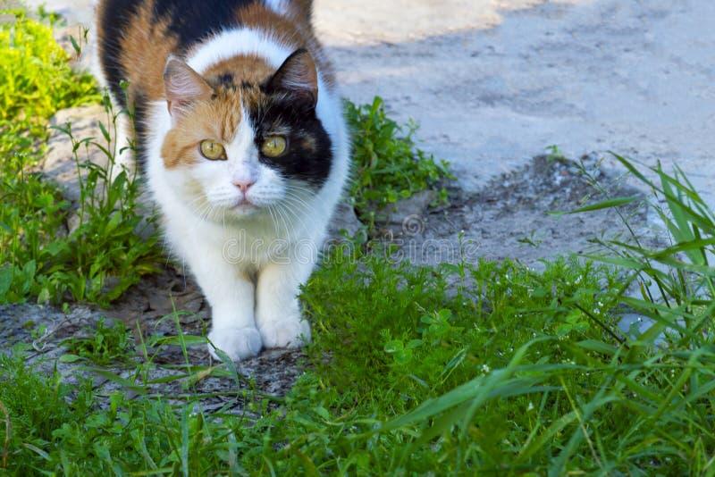 Gato nacional regordete manchado en naturaleza Mira adelante fotos de archivo