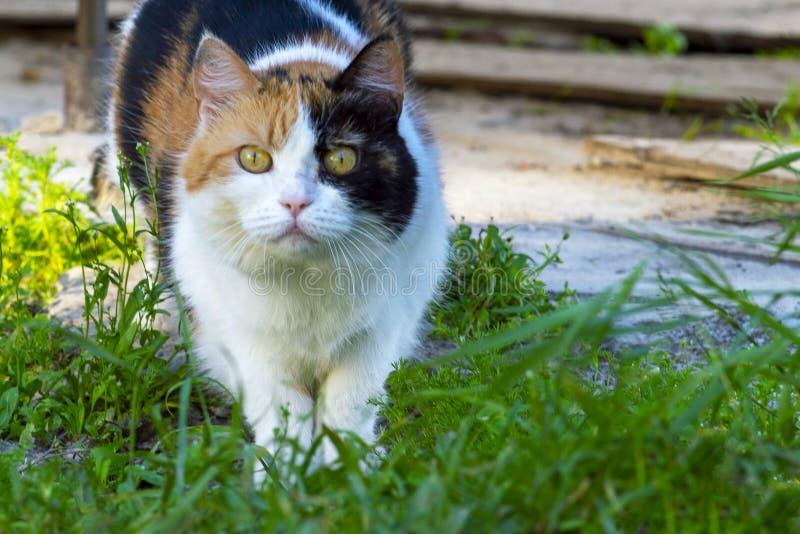 Gato nacional regordete manchado en naturaleza Mira adelante foto de archivo