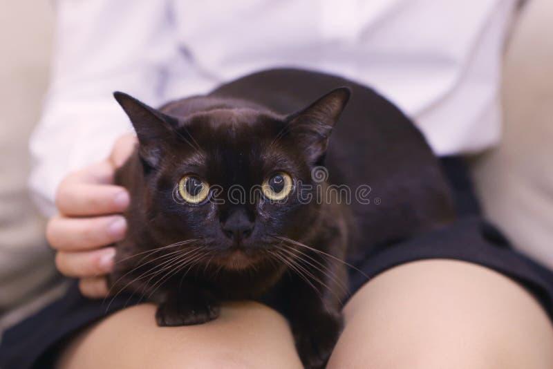 Gato negro burmese americano en revestimientos humanos fotos de archivo libres de regalías