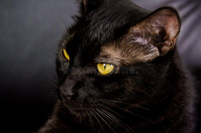 Gato negro con los ojos amarillos fotografía de archivo