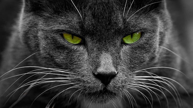Gato negro con los ojos verdes que brillan intensamente Primer de una cara depredadora fotografía de archivo