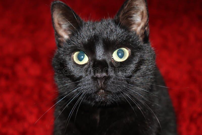 Gato negro desconcertado en un fondo rojo imagenes de archivo