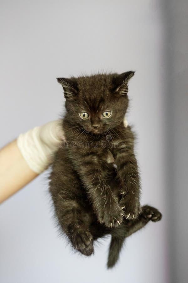 Gato negro en las manos de un veterinario Animales domésticos del concepto, tratamiento, clínica veterinaria imagen de archivo libre de regalías