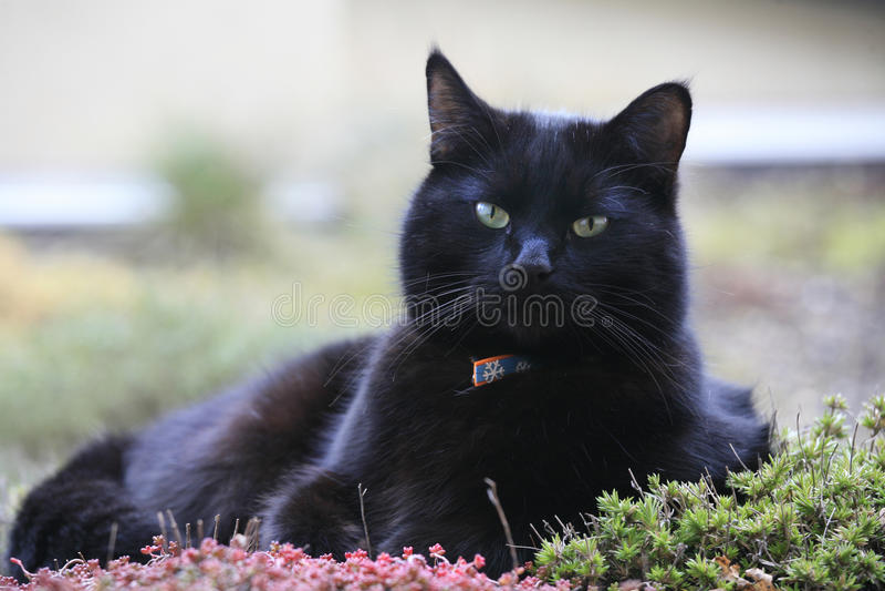 Gato negro expresivo fotografía de archivo libre de regalías