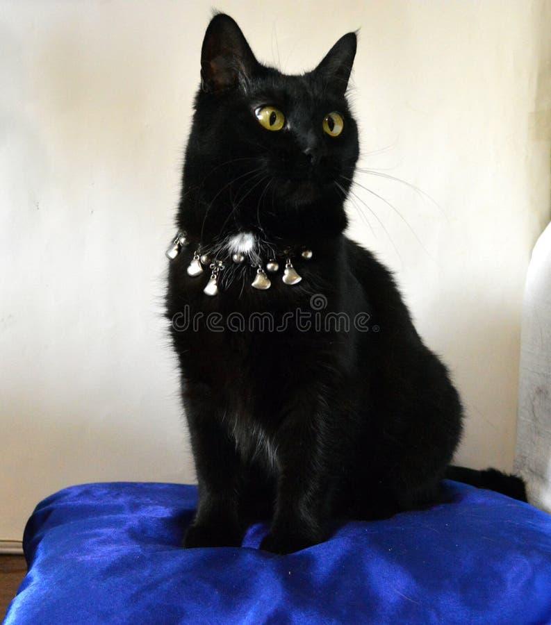 Gato negro hermoso con los ojos amarillos en una almohada azul imagen de archivo