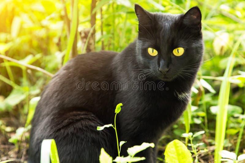 Gato negro hermoso de Bombay con el primer amarillo de los ojos en hierba verde en naturaleza en luz del sol Primavera, verano imagen de archivo