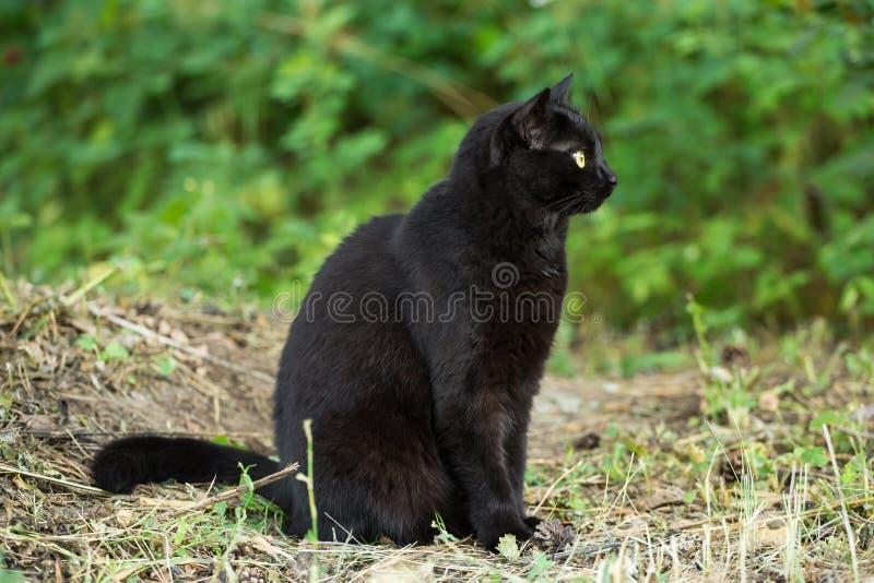 Gato negro hermoso de Bombay en perfil con los ojos del amarillo y mirada atenta en hierba verde en naturaleza imagenes de archivo