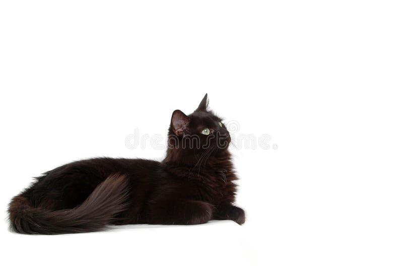 Gato negro intrigante foto de archivo libre de regalías