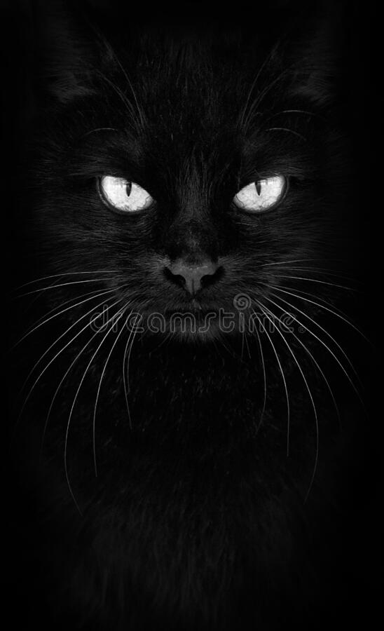 Gato negro mirando la cámara, retrato de gatos blancos y negros de cerca foto de archivo