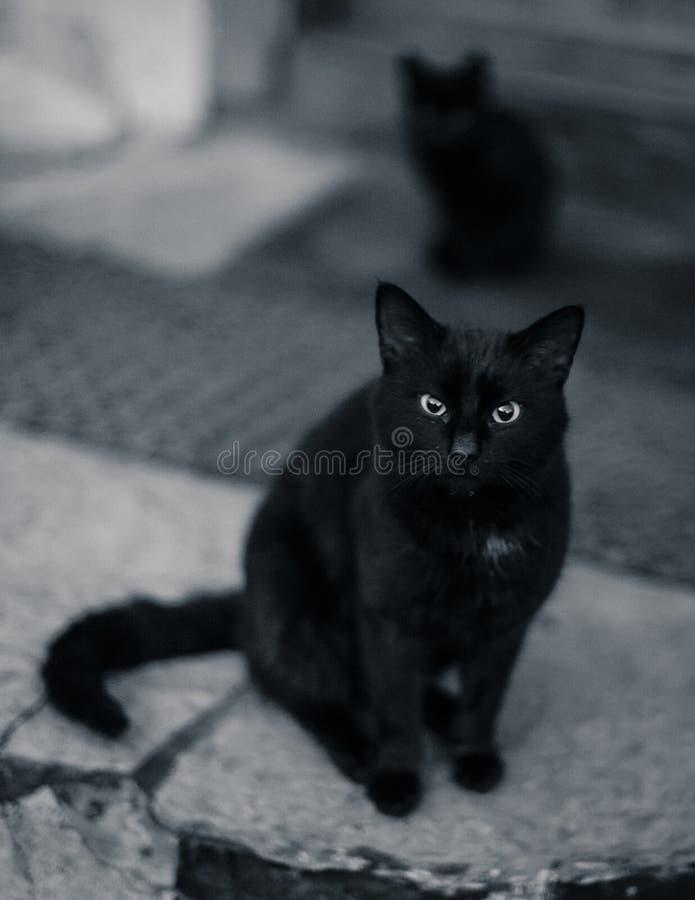 Gato negro que mira fijamente en negro y blanco foto de archivo libre de regalías